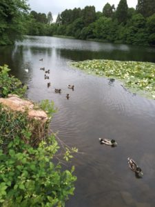 Mallards on the lake at Tredegar House.
