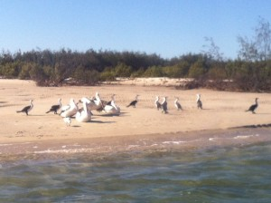 If you kayak over to Bribie Island there will be a welcoming party.